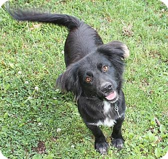Border Collie/Spaniel (Unknown Type) Mix Dog for adoption in Windham, New Hampshire - Dahlia !In New England!