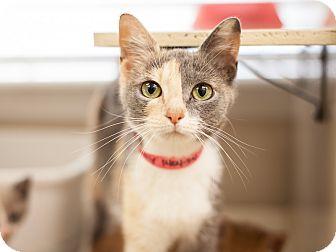 Calico Cat for adoption in Dallas, Texas - Betty