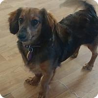 Adopt A Pet :: Laci - Golden Valley, AZ