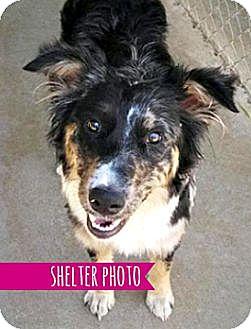 Australian Shepherd Mix Dog for adoption in Sunnyvale, California - Elsie