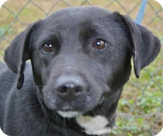 Labrador Retriever Mix Dog for adoption in Blountstown, Florida - Stellaluna