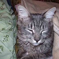 Domestic Mediumhair Cat for adoption in Gaithersburg, Maryland - Cary