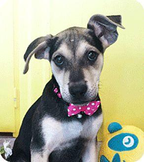 Labrador Retriever Mix Puppy for adoption in Castro Valley, California - May