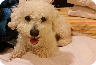 Poodle (Miniature)/Bichon Frise Mix Dog for adoption in Encino, California - Blanca