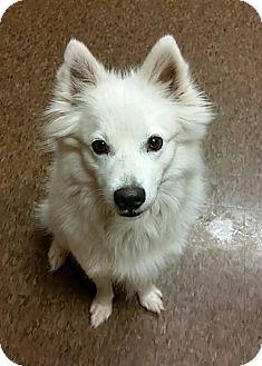 American Eskimo Dog Dog for adoption in Albion, New York - Cody