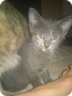 Domestic Shorthair Kitten for adoption in Tampa, Florida - Ava