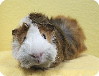Guinea Pig for adoption in Benbrook, Texas - Clyde