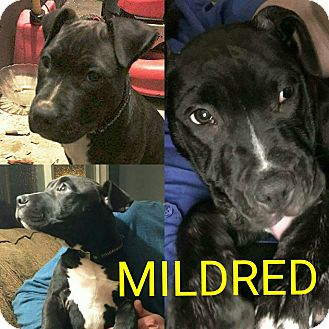 American Pit Bull Terrier Mix Dog for adoption in Garden City, Michigan - Mildred