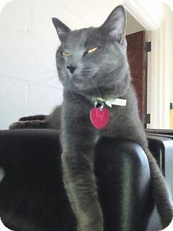 American Shorthair Cat for adoption in Sand Springs, Oklahoma - Smokey