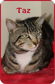 Domestic Shorthair Cat for adoption in Idaho Falls, Idaho - Taz