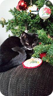 Domestic Shorthair Kitten for adoption in Hinton, Alberta - Abby