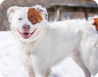 Australian Shepherd Mix Dog for adoption in North Haven, Connecticut - Waldo
