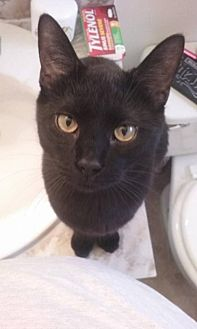 Domestic Shorthair Cat for adoption in Lorain, Ohio - Shadow