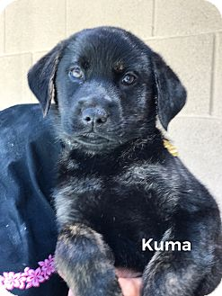 Labrador Retriever/Shepherd (Unknown Type) Mix Puppy for adoption in Mechanicsburg, Pennsylvania - Kuma