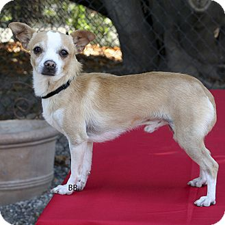 Chihuahua Mix Dog for adoption in Santa Barbara, California - Owen