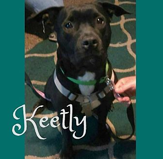 American Pit Bull Terrier/Labrador Retriever Mix Dog for adoption in Des Moines, Iowa - Keetly