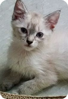 Siamese Kitten for adoption in Meridian, Idaho - Flossy