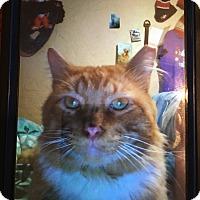 Domestic Mediumhair Cat for adoption in Kelso/Longview, Washington - Morris