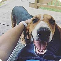 Adopt A Pet :: Travolta - Cool Ridge, WV