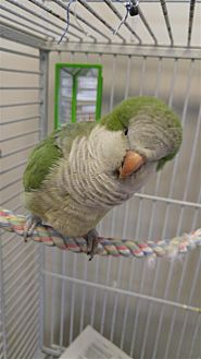 Parrot - Other for adoption in Elizabeth, Colorado - Sweet Pea