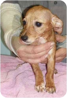 Chihuahua/Toy Fox Terrier Mix Puppy for adoption in Salem, New Hampshire - Greta