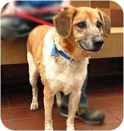 Hound (Unknown Type)/Shepherd (Unknown Type) Mix Dog for adoption in Port Washington, New York - Max