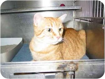 Domestic Shorthair Cat for adoption in El Cajon, California - Clementine