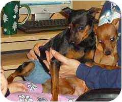 Miniature Pinscher Dog for adoption in Florissant, Missouri - Addie