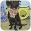 Photo 2 - Manchester Terrier/American Pit Bull Terrier Mix Dog for adoption in Auburn, California - Rumba