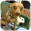 Photo 3 - Chihuahua Mix Dog for adoption in Youngwood, Pennsylvania - Brutus