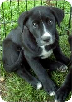 Labrador Retriever Mix Puppy for adoption in Hammonton, New Jersey - gooch