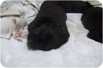Labrador Retriever Mix Puppy for adoption in White Settlement, Texas - Iraia's Ebony
