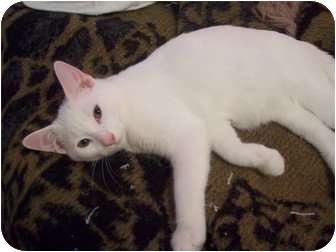 Domestic Shorthair Kitten for adoption in Winder, Georgia - *Rex