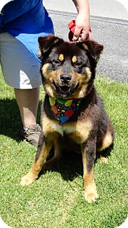 Labrador Retriever/Rottweiler Mix Dog for adoption in Bluff city, Tennessee - SEBASTIAN - LOYAL LOVING !!