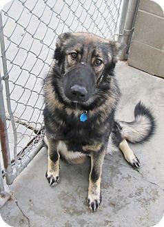 German Shepherd Dog Mix Dog for adoption in Lloydminster, Alberta - Jersey