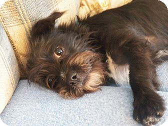 Shih Tzu/Terrier (Unknown Type, Small) Mix Dog for adoption in Mary Esther, Florida - Roscoe II