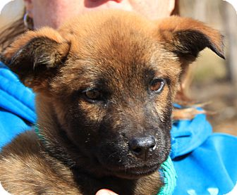 German Shepherd Dog Mix Puppy for adoption in Pewaukee, Wisconsin - Ginger
