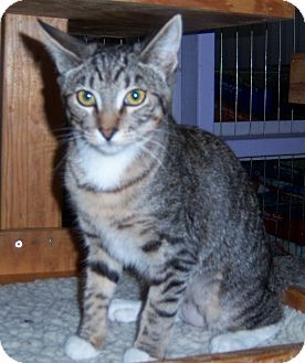 Domestic Shorthair Cat for adoption in Whittier, California - Charlotte