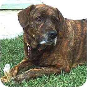 Labrador Retriever/Mastiff Mix Dog for adoption in Rolling Hills Estates, California - Tasha