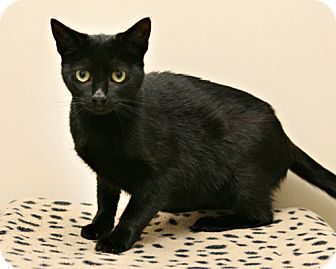 Domestic Shorthair Cat for adoption in Bellingham, Washington - Clover