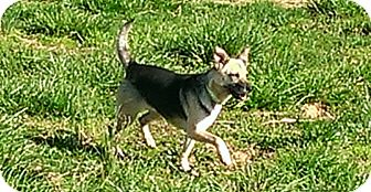 Jack Russell Terrier/Corgi Mix Dog for adoption in castalian springs, Tennessee - Happy