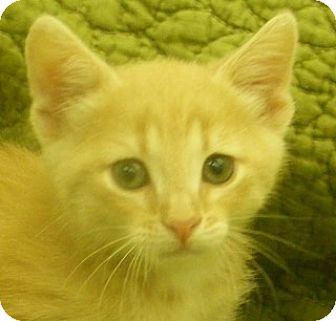 Domestic Shorthair Kitten for adoption in Olive Branch, Mississippi - Max