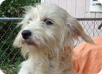 Cairn Terrier Dog for adoption in Crump, Tennessee - Lacy