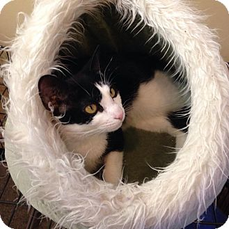 Domestic Shorthair Cat for adoption in East Islip, New York - Roxy