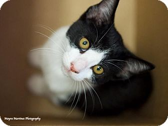 Domestic Shorthair Kitten for adoption in Knoxville, Tennessee - Tyler