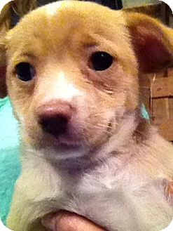 Terrier (Unknown Type, Small) Mix Puppy for adoption in PLAINFIELD, Indiana - Wednesday