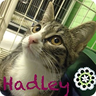 Domestic Shorthair Kitten for adoption in Bloomingdale, New Jersey - Hadley