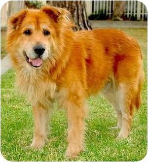 Golden Retriever/Chow Chow Mix Dog for adoption in Marina del Rey, California - Laszlo