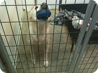 Labrador Retriever Mix Dog for adoption in Boston, Massachusetts - Hailey