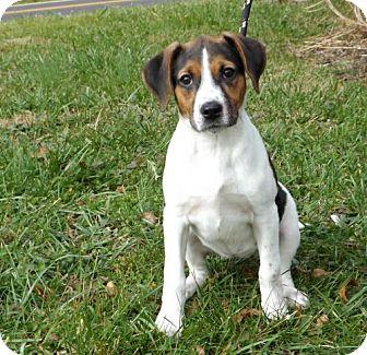 Beagle Mix Puppy for adoption in Batavia, Ohio - Halo